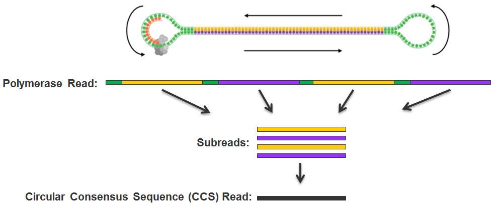 Ccs Template | Pacific Biosciences Terminology